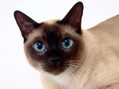 Image result for tonkinese cat